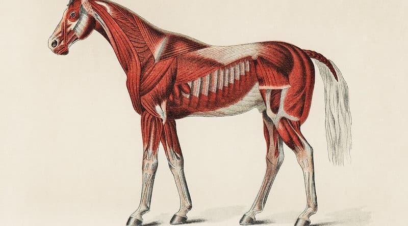 Muscler son cheval : les erreurs à ne pas faire
